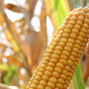 Семена кукурузы Норико