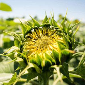 [:ru]Семена подсолнечника НС Кнез[:ua]Насіння соняшнику НС Кнез[:]