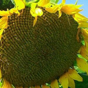 Насіння соняшнику Одісей ІМІ