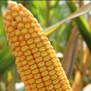 Семена кукурузы Окато