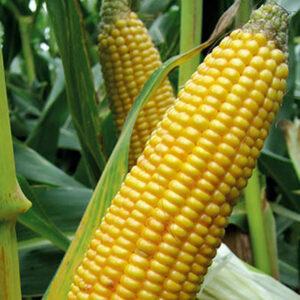 [:ru]Семена кукурузы ОССК 396 [:ua]Насіння кукурудзи ОССК 396 [:]