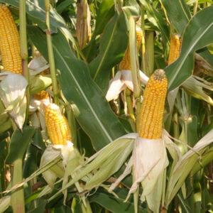 Семена кукурузы Пеларко