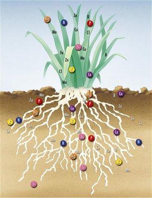 Значение марганца и цинка в питании растений