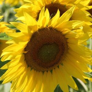 [:ru]Семена подсолнечника ПРО111СУ[:ua]Насіння соняшника ПРО111СУ[:]