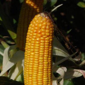 Семена кукурузы Редда
