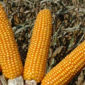 Семена кукурузы Роберто
