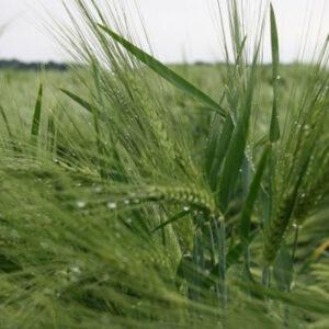 Семена ярого ячменя Саломе