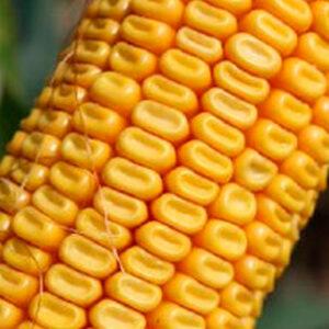 Семена кукурузы Сативо