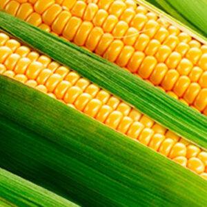 [:ru]Семена кукурузы Тоначия[:ua]Насіння кукурудзи Тоначія[:]