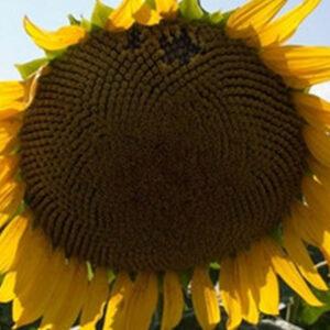 Семена подсолнечника Торо
