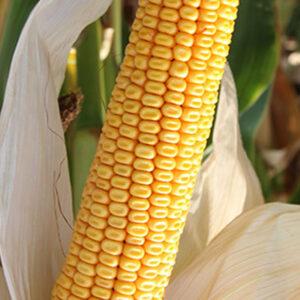 Семена кукурузы Торрано
