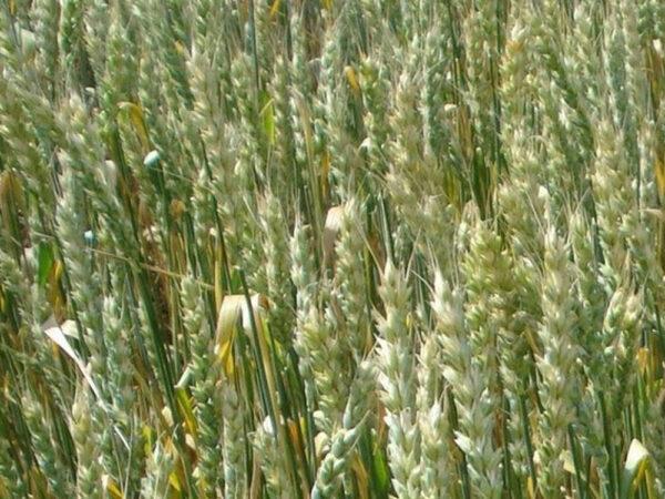 Семена озимой пшеницы Водограй Белоцерковский