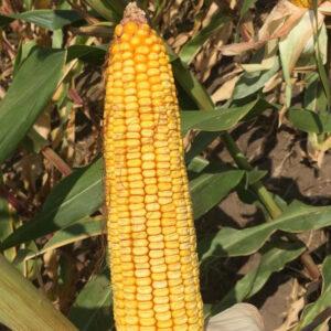 Семена кукурузы Зуардино