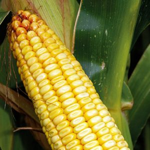 [:ru]Семена кукурузы ЗУМ 1093[:ua]Насіння кукурудзи ЗУМ 1093[:]