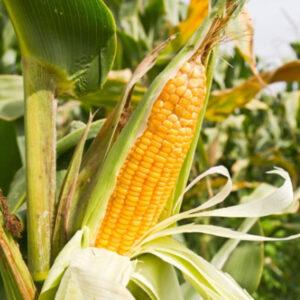 Семена кукурузы Зумзума