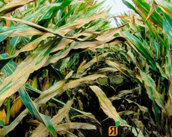 Основные болезни кукурузы