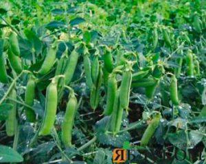 Оптимизация технологии выращивания гороха