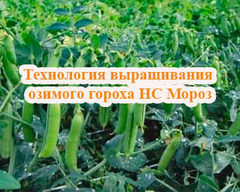 Технология выращивания озимого гороха НС Мороз