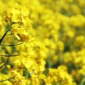 [:ru]Семена озимого рапса Грим[:ua]Насіння озимого ріпаку Грим[:]
