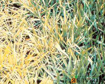 Вирус карликовости пшеницы и его переносчики
