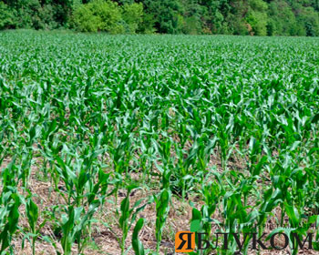 Выращивание кукурузы по ноутил в Степной зоне