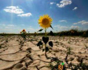 Выращивание подсолнечника в условиях засухи