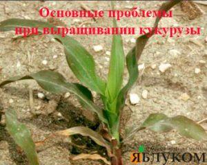 Основные проблемы при выращивании кукурузы