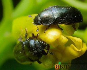 Рапсовый цветоед – защита от вредителя