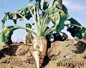 Факторы увеличения урожайности сахарной свеклы.