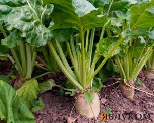Защита сахарной свеклы от сорняков