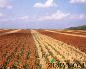 Технология выращивания сорго