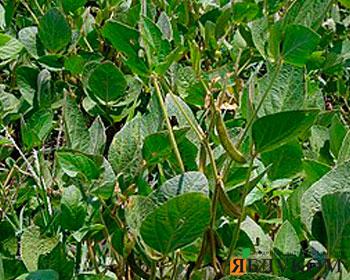 Контроль сорняков на сое