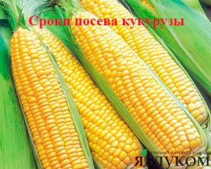 Сроки посева кукурузы