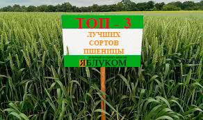 Самые лучшие сорта озимой пшеницы. ТОП — 3 от «Яблуком»