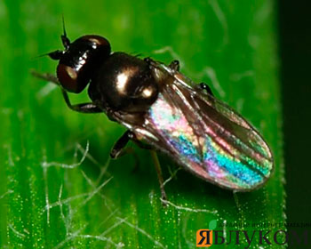 Злаковые мухи и методы борьбы с ними