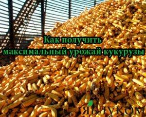 Как получить максимальный урожай кукурузы