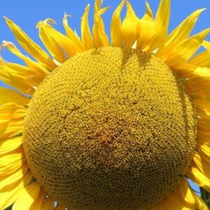 Семена подсолнечника Фалькон