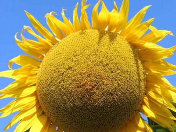 Насіння соняшника Фалькон