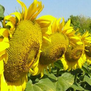 [:ru]Семена подсолнечника НСХ 494[:ua]Насіння соняшника НСХ 494[:]