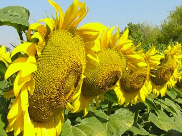 Семена подсолнечника НСХ 494