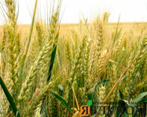Физиология формирования урожая озимой пшеницы