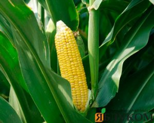 Выращивание сахарной кукурузы: основная технология