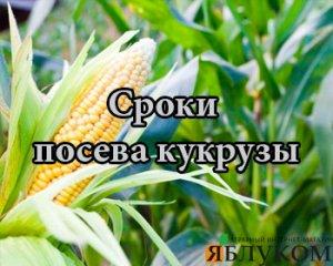 Сроки посева кукурузы – как не прогадать