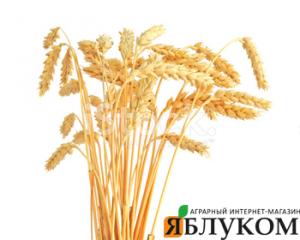 Методы определения продуктивных стеблей на пшенице