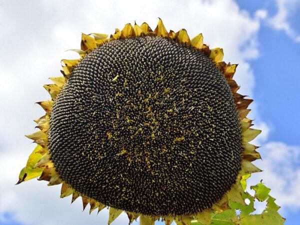 Семена подсолнечника Жалон Гранд