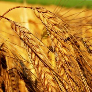 Семена ярового ячменя Авгур