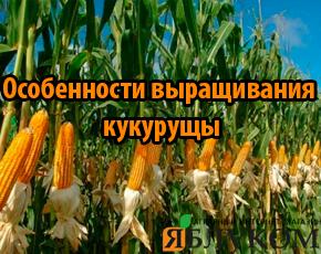 Особенности выращивания кукурузы по интенсивной технологи