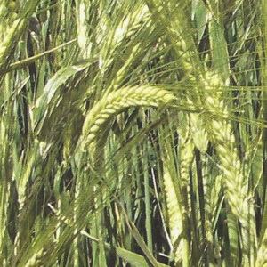 [:ru]Семена ярового ячменя Себастьян[:ua]Насіння ярого ячменю Себастьян[:]