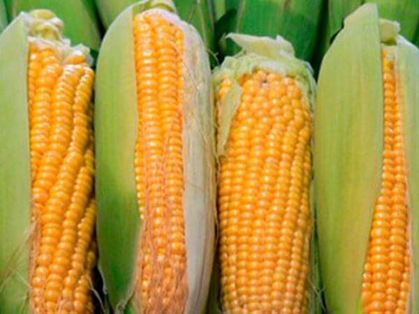 Семена кукурузы Яровец 243 МВ
