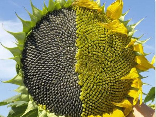 Семена подсолнечника НСХ 26749 ОР
